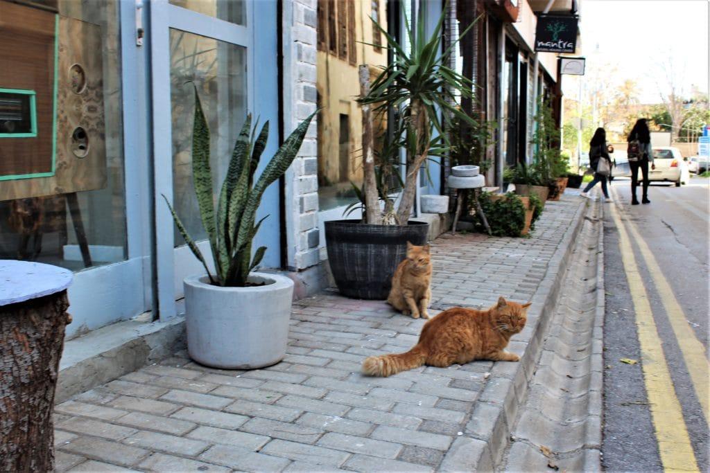 Nikozja koty